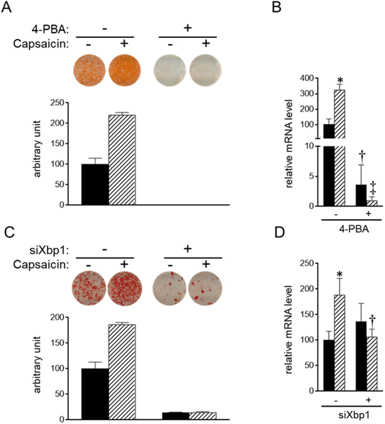 Requirement of ER stress for efficient brown adipogenesis. ( A and B ) HB2 brown preadipocytes were treated with or without 5 mM of 4-PBA or 100 μM of capsaicin or both for 8 days in the presence of insulin (20 nM). ( C and D ) HB2 brown preadipocytes were transfected with scrambled <t>RNA</t> or <t>siRNA</t> for Xbp1. Cells were treated with or without 100 μM of capsaicin in the presence of insulin (20 nM) for 8 days. ( A and C ) Oil Red O staining of cells on day 8 was performed, and the dye intensity was quantified (n = 2). ( B and D ) The expression level of Ucp1 was examined by RT-qPCR analysis. Black bar: vehicle; Hatched bar: capsaicin. The data are presented as the mean ± SE (n = 4). * P