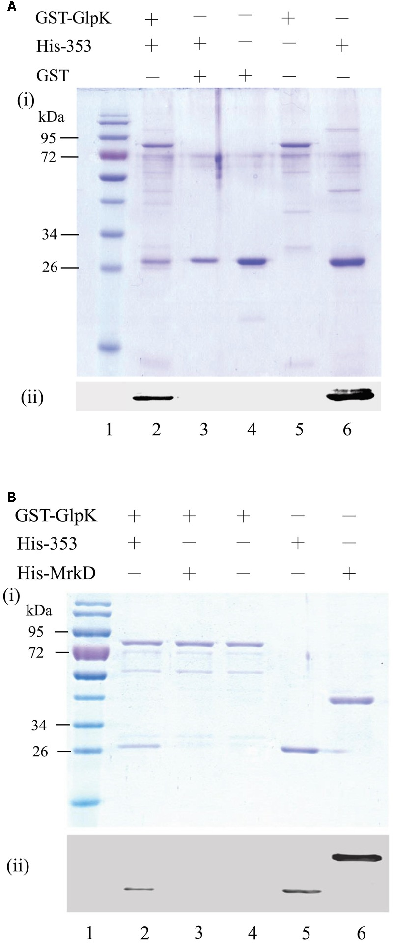Interaction between KPN00353 and GlpK. GST-tagged GlpK (GST-GlpK) was allowed to interact with His-tagged protein (lane 2, 3 in A,B ), and then the proteins captured on GSH-Sepharose beads were analyzed by (i) SDS-PAGE followed by Coomassie Blue staining and (ii) Western blotting using anti-His antibody. The purified proteins were analyzed simultaneously with the control (lane 4, 5, 6 in A,B ). The protein marker is shown in lane 1. His-353, His-tagged KPN00353; His-MrkD, His-tagged MrkD; GST, glutathione S-transferase.