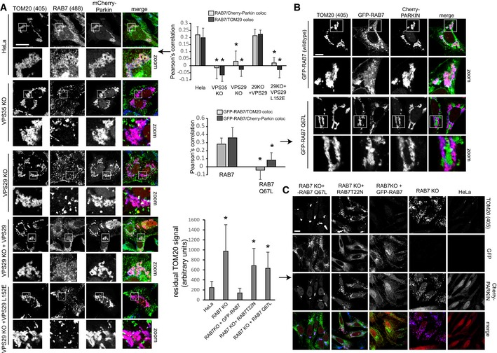 Control of RAB 7 activity is required for efficient removal of mitochondria through mitophagy All image panels show PFA‐fixed HeLa cells. mCherry‐Parkin‐transduced parental HeLa cells, VPS35 KO cells, VPS29 KO cells, and VPS29 KO cells transduced with the indicated VPS29 rescue constructs cells were incubated with CCCP over 4 h, followed by staining of endogenous RAB7a (green) and TOM20 (blue). Co‐localization between RAB7 and TOM20 as well as RAB7 and mCherry‐Parkin was quantified over two independent experiments. RAB7a KO cells transduced with mCherry‐Parkin and GFP‐RAB7 or GFP‐RAB7‐Q67L were treated with CCCP for 4 h, followed by co‐staining with endogenous TOM20 (blue). Co‐localization between the GFP‐RAB7 variants and TOM20 was quantified over two independent experiments. Parental HeLa cells, RAB7 KO cells, and RAB7 KO cells transduced with the indicated GFP‐RAB7 rescue constructs were treated with CCCP for 16 h, followed by staining of endogenous TOM20 (blue). The residual TOM20 signal after CCCP treatment was quantified over two independent experiments. Data information: All scale bars = 10 μm, all error bars = SD, and * P