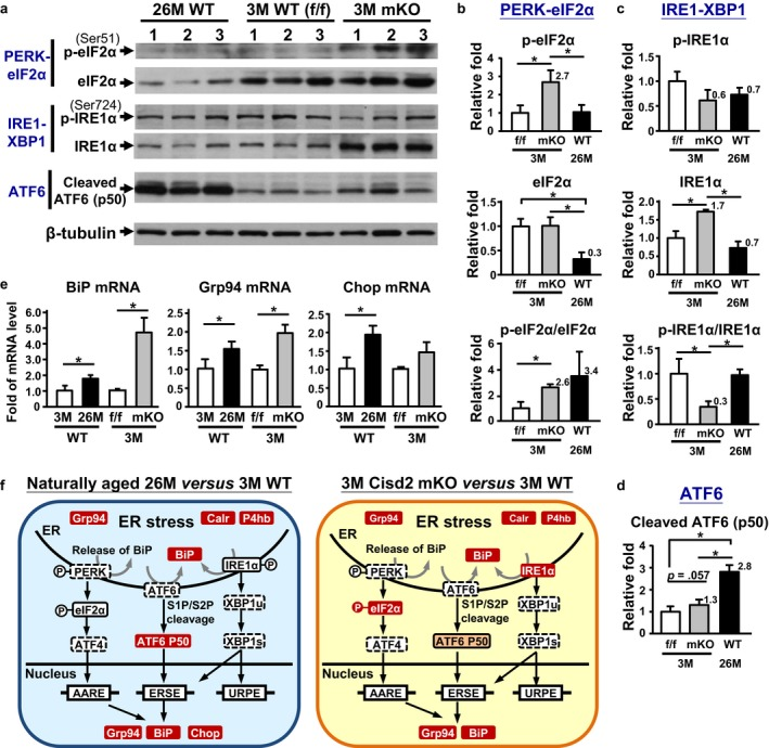 Activation of UPR and ER stress in the naturally and prematurely aged gastrocnemius muscle. (a) Western blot analyses of the three UPR pathway markers, namely PERK‐eIF2α, IRE1‐XBP1, and ATF6. <t>β‐Tubulin</t> in the ATF6 blot is shown as the representative internal control. See Fig. S5 b–d for three complete blots. (b) Quantification of the p‐eIF2α and total eIF2α and the ratio of p‐eIF2α/total eIF2α. * p
