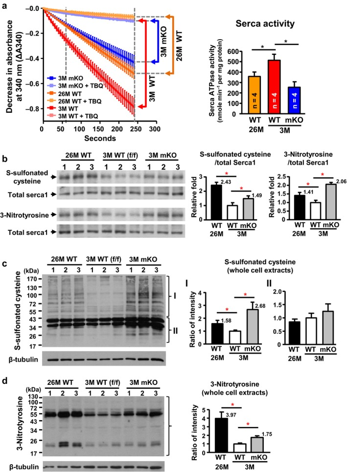 Decreased activity of Serca1 and increased oxidative stress in naturally and prematurely aged gastrocnemius muscle. (a) Significant reductions occurred in calcium‐dependent Serca ATPase activity in naturally aged (26M) WT and prematurely aged (3M) Cisd2 mKO mice. The selective Serca pump inhibitor, TBQ, was used to reflect a specific difference in Serca activity. n = 4 for each group of mice. (b) Increased cysteine S‐sulfonation and tyrosine nitration on Serca1 protein in gastrocnemius muscles. The total Serca1 protein was detected by re‐blotting on the same membrane. (c,d) Increase in oxidative modifications, namely S‐sulfonated cysteine and 3‐nitrotyrosine, for all proteins present in whole cell extracts of the gastrocnemius muscle. Quantification of each sample was based on the entire intensities of each lane or region normalized to β‐tubulin. *p