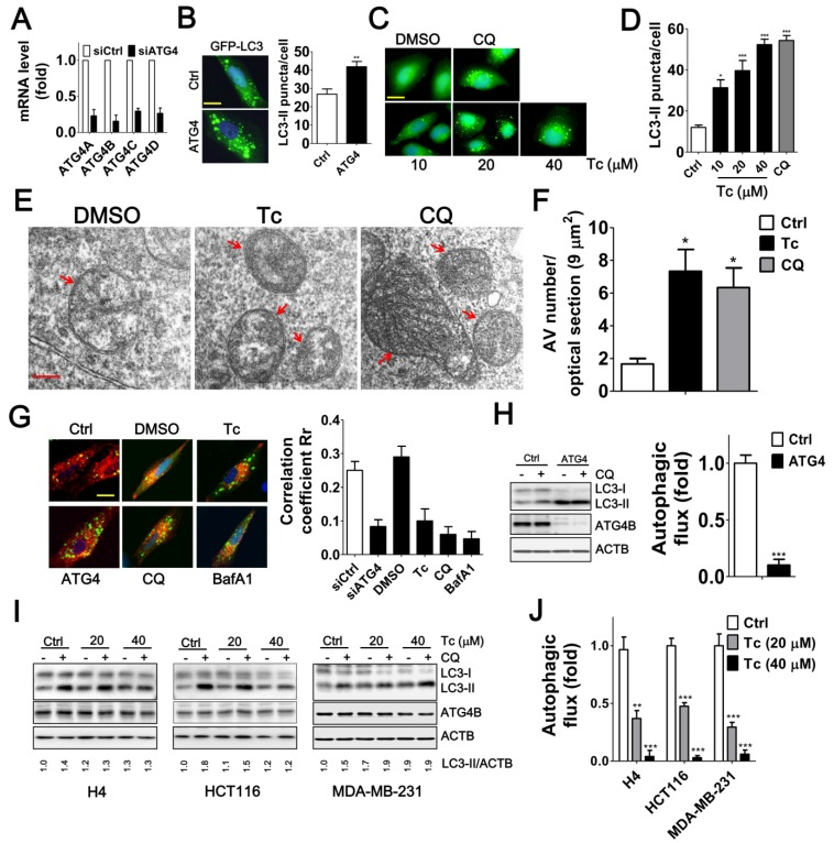 Effects of Tioconazole on Autophagic Activity in Cancer Cells. (A) Human glioma H4 cells that stably express GFP-LC3 were transfected with 5 nM non-targeting siRNA (Ctrl) or siRNA against ATG4 family members (ATG4) for 48 h, and the knockdown efficiency of ATG4 was verified with real time PCR. ( B) The knocked-down cells were fixed for observation via fluorescence microscopy, and the number of GFP-LC3 puncta is quantified in the right panel. Bar: 20 μm. (C) The cells that stably express GFP-LC3 were treated with tioconazole for 8 h and fixed to observe the GFP-LC3 puncta, which were ( D) quantified via fluorescence microscopy. The autophagy inhibitor CQ was used as a positive control. Bar: 20 μm. (E) HCT16 cells treated with tioconazole (Tc, 40 μM) or CQ (20 μM) for 6 h were fixed and imaged with TEM. Representative autophagic vacuoles (AVs) are shown. Arrowhead: autophagosome. Bar: 200 nm. ( F) The numbers of AVs for each optical section (9 μm 2 ) are quantified (n=8). ( G ) HCT116 cells expressing GFP-LC3 and RFP-Lamp1 were treated with Tc for 6 h and fixed to observe colocalization of GFP-LC3 and RFP-Lamp1 with confocal microscopy. GFP-LC3 that had colocalized with or was surrounded by RFP-Lamp1 was identified as fusion between autophagosomes and lysosomes. The colocalization coefficients of images were quantified by the Ziess LSM 710 Software and are shown in the right panel. Bar: 20 μm. (H) HCT16 cells were transfected with siRNA (5 nM) for 66 h and then treated with CQ (20 μM) for 2 h. Cells were harvested for immunoblotting using antibodies against LC3, ATG4B or ACTB, and autophagy flux was quantified in untreated cells and cells treated with CQ based on changes in LC3-II. (I) H4, HCT116 or MDA-MB-231 cells were treated with Tc for 6 h in the presence (+) or absence (-) of CQ (20 μM) and harvested for immunoblotting. (J) The autophagic flux was quantified as described in (I). Representative data are shown, and the quantified results are expressed as the mean 