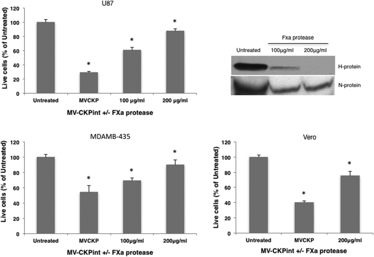 Proteolytic Removal of the CKP Prevents Infection by MV-CKPint Virus MV-CKPint was treated with FXa protease at 100 and 200 μg/mL for 2 hr. Untreated and protease-treated virus was used to infect human glioblastoma (U87), melanoma (MDAMB-435) and vero cells for 3 hr at 37°C. The number of live cells was quantified 96 hr post-infection using the trypan blue exclusion method (bar graphs). The experiments were performed in three independent repeats. Error bars represent SEM. *p
