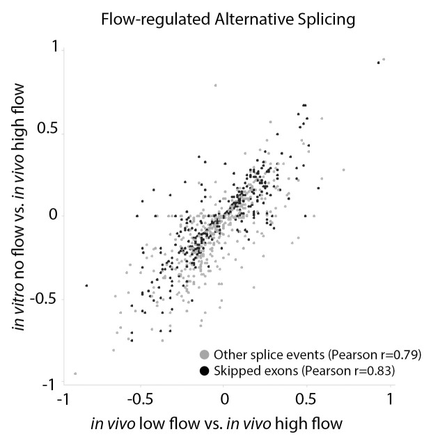 Arterial cells cultured in vitro replicate splicing changes observed under low and disturbed flow in vivo. Comparison of the change in inclusion frequency by MISO for individual splicing events of the classes shown (by color code on bottom), relative to high-flow arterial endothelium in vivo. Other splice events include A3SS, A5SS, MXE and RI. Only flow-regulated alternative splicing events are shown. In vitro cells are primary Cdh5(PAC)-CreERT2; mT/mG cells from the aorta, isolated as described in Materials and methods, cultured in static conditions and sorted by FACs for eGFP+ before RNA isolation. Splicing events in these cells were compared to high-flow carotid artery intimal isolate. In vivo low-flow is the comparison of the low-flow intimal isolate to the high-flow intimal isolate. Pearson correlation indicates the correlation between the change in inclusion observed in low-flow activated endothelial cells in vivo versus low-flow activation of endothelial cells in vitro.