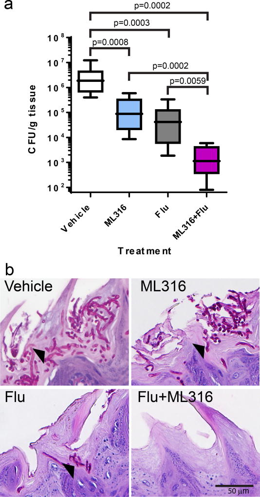 ML316 is active against azole-resistant C. albicans in mice ( a ) Mice were treated with corticosteroids to induce susceptibility and infected sublingually with strain CaCi-2. Three days later, they were randomly assigned to treatment as indicated (n=8/ group except fluconazole (Flu) n=7). ML316 was added to drinking water (2.85 µM ML316/ 1% w/v sucrose) while Flu was administered intraperitoneally (10 mg/kg/day). Antifungal activity was assessed by measuring residual colony forming units (CFU) persisting on the tongue after completing 2 days of therapy. Mean and s.d. are displayed. The statistical significance of differences between treatment groups was determined by Mann Whitney test (unpaired, 2 tailed, non-parametric). P values are indicated above the relevant comparisons (Flu vs ML316; not significant). ( b ) Photomicrographs of PAS-stained tissue sections to assess fungal morphology are presented. Arrow heads indicate fungal foci which appear dark pink against the lighter staining of the keratinized papillae of the host tongue.