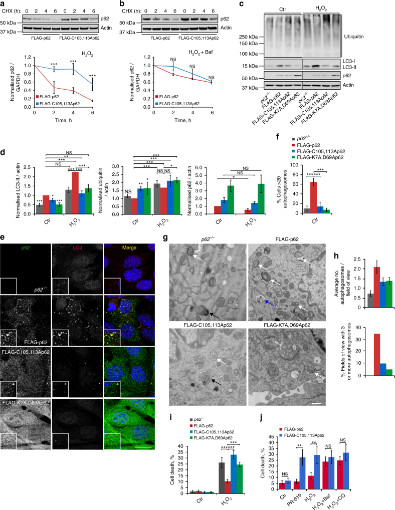 Oxidation-sensitive p62 is required for pro-survival autophagy. a p62 −/− MEFs stably expressing FLAG-tagged wild type or C105A,C113A p62 were treated with cycloheximide (CHX, 50 μg/ml) and H 2 O 2 (1 mM), either in the absence ( a ) or presence ( b ) of bafilomycin A1 (Baf, 50 nM), lysed at the indicated time post treatment, immunoblotted for p62 and quantified. c Cells described in a plus one stably expressing K7A,D69A PB1-domain mutant of p62 were treated with H 2 O 2 (1 mM, 5 h), lysed and immunoblotted for ubiquitin, LC3, p62 and actin ( c ) and quantified ( d ). e , f Stable p62 cell lines in control conditions were fixed and stained for p62 and LC3 ( e ) and the % cells with > 20 autophagosomes was quantified ( f ). g , h Electron microscopy of stable p62 cell lines. White arrows: autophagosomes; black arrows: autolysosomes; blue arrow: endosome. Scale bar: 500 nm ( g ). Autophagosomes were quantified and graphs represent average number and % cells with three or more autophagosomes per field of view ( h ). i , j Stable p62 cell lines were treated as in c and % cell death was analysed by Ready Probes fluorescent dyes ( i ). j Stable p62 cell lines were treated as indicated and % cell death was analysed as in i . Error bars represent s.e.m., n = 3 , * P