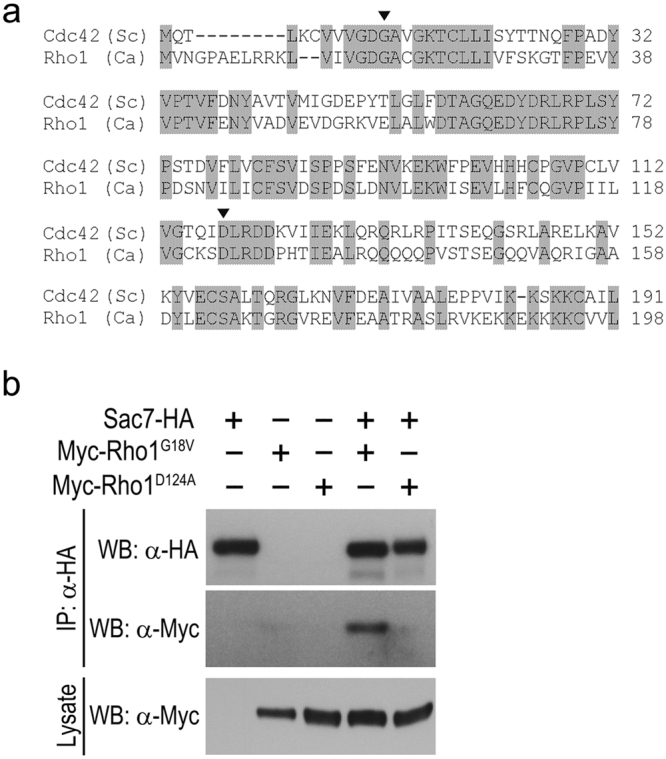 Sac7 physically interacts with Rho1. ( a ) Amino acid sequence alignment of Ca Rho1 with Sc Cdc42. Consensus residues are shaded. The arrowhead and asterisk indicate the conserved residues mutated to generate GTP- and GDP-locked forms of GTPase, respectively. ( b ) Sac7-HA interacts with Myc-Rho1 G18V but not Myc-Rho1 D124A . Lysates prepared from cells expressing Sac7-HA (YSL607), Myc-Rho1 G18V (YSL570), Myc-Rho1 D124A (YSL564), Sac7-HA and Myc-Rho1 G18V (YSL601), and Sac7-HA and Myc-Rho1 D124A (YSL609) were immunoprecipitated with the HA antibody. The immunoprecipitates were separated by SDS-PAGE and transferred to PVDF membrane for WB analysis with HA and Myc antibodies. The cell lysates were also directly subjected to WB analysis with the Myc antibody as a control.