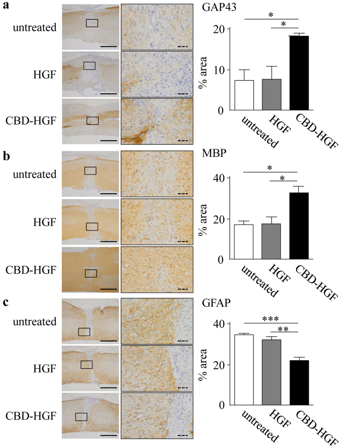 Axonal growth after spinal cord compression injury. Mice subjected to a compression injury were treated with a single administration of CBD-HGF or HGF. Untreated mice were used as controls (4 mice each per 3 groups). Immunohistochemistry for GAP43 ( a ), MBP ( b ) and GFAP ( c ) at the injury sites was performed 6 weeks post-injury. Left: Representative photographs from each group. The scale bar indicates 500 µm (solid line) and 50 µm (dotted line). Right: Immunopositive areas were measured under a microscope and percent area is shown. * p