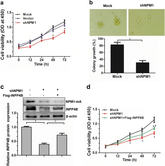 NPM1-mA-mediated INPP4B upregulation promotes cell proliferation in OCI-AML3 cells. The NPM1-mA-silenced OCI-AML3 cells were subjected to ( a ) CCK8 assays and ( b ) colony forming assays. c The NPM1-mA-silenced OCI-AML3 cells were transfected with the pEAK-Flag/INPP4B plasmids, western blotting analysis of INPP4B and NPM1-mA. Proteins were quantified using image software and normalized against β-actin. d CCK-8 assay analysis of cell proliferation in NPM1-mA-silenced OCI-AML3 cells, followed by Flag-INPP4B introduction. Data were represented as mean ± s.d. of three individual experiments. * p