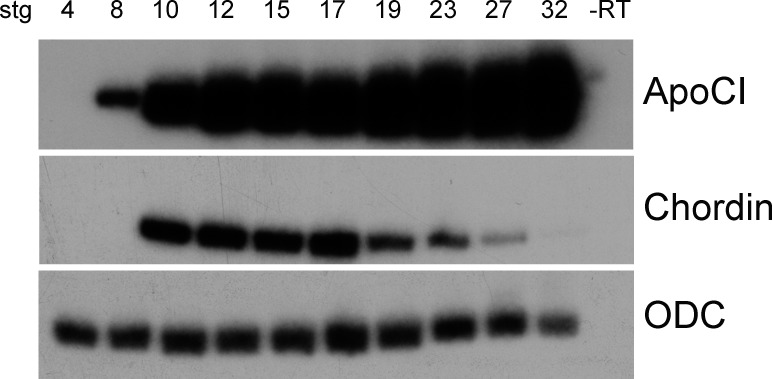Temporal expression of a poCI mRNA. <t>RT-PCR</t> of <t>RNA</t> isolated from whole embryos between stage 4 and stage 32. Chordin serves as a staging control and Ornithine decarboxylase (ODC) as a control for input RNA levels.