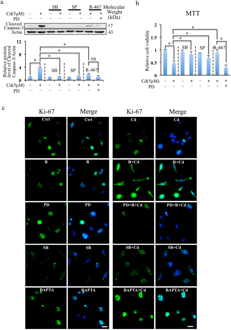 R-467 reduced apoptosis and induced cell proliferation. ( a ) Inhibition of MAPK signaling pathway on Cd and R-467-regulated apoptosis. Cells pretreated with SB202190 (10 μM), SP600125 (10 μM) or PD98059 (10 μM), for 30 min, followed by Cd treatment (5 μM) or co-treated with R-467 (1 μM) for 24 h, total proteins were extracted for Western blotting analysis of expression of cleaved caspase-3. ( b ) Inhibition of MAPK signaling pathway on Cd induced cytotoxicity. Cells pretreated with SB202190 (10 μM), SP600125 (10 μM) or PD98059 (10 μM), for 30 min, followed by Cd treatment (5 μM) or co-treated with R-467 (1 μM) for 24 h, the cell viability was evaluated by MTT assay. SB202190, SP600125 significantly inhibited Cd-induced cell death. Co-treatment of R-467 eliminated Cd-induced cytotoxicity, but suppressed by pretreatment of PD98059. Results are presented as mean ± SD (n = 4). *Statistical significance between control and treatments or Cd treatment and in presence of inhibitors or calcimimetics, * P