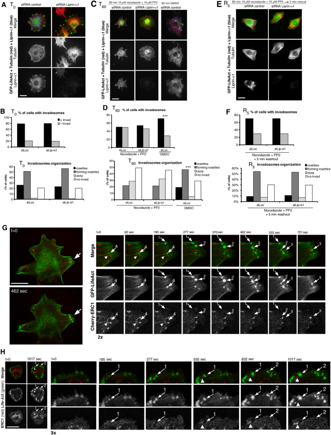 Liprin-α1 depletion does not affect invadosome formation, but affects their motility. ( A,C,E ) NIH-Src cells co-transfected with siRNAs and GFP-LifeAct (invadosomes), fixed before ( A , T 0 ) or after incubation with nocodazole and PP2 ( C , T 60 ), and after washout and incubation for 5 min to rescue invadosomes ( E , R 5 ). Immunostaining for GFP-LifeAct (green), tubulin (red), and liprin-α1 (blue). Bars, 20 µm. ( B,D,F ) Graphs: top, mean percentage of cells with/without invadosomes; bottom, invadosome organization: cells classified based on the highest organization of their invadosomes (n = 186–309). χ 2 test: no differences with liprin-α1 and control siRNA; *** p