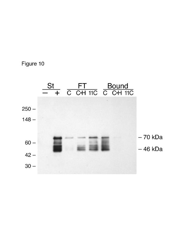 Affinity chromatography HSPGs on III1-C Sepharose. RASMCs were collected by trypsinization and lysed in NP40 buffer. The lysate was then treated either without (-) or with (+) 0.1 u/ml heparitinase for 1 hr at 37°C. Heparitinase treated samples were then applied to either III1-C Sepharose (lanes marked C) or III 11-C Sepharose (lanes marked 11C). One sample was applied to a III1-C Sepharose column in the presence of 0.5 mg/ml heparin (lanes marked C•H). The flow through fractions were collected (FT lanes), the columns were washed extensively, then the Sepharose beads were collected and boiled in SDS-PAGE sample buffer (Bound lanes). Samples were analyzed by immunoblotting with the 3G10 antibody. Antibody 3G10 recognizes the uronate stubs that remain associated with core proteins after heparitinase digestion. Thus, after heparitinase digestion 3G10 shows the sizes of HSPG core proteins. Note that the major HSPGs have core protein sizes of 46 kDa and 70 kDa, and both of these HSPGs bind to the III1-C column but not the III 11-C column. The experiment was performed twice with similar results both times.
