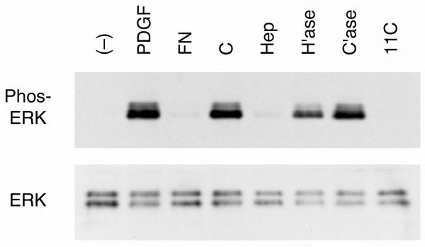 Inhibition of III1-C mediated ERK activation by heparitinase. RASMCs were collected in DMEM+0.5% BSA and were then treated in suspension with either no GAGase ((-), PDGF, FN, C, Hep, and 11C samples) or with 0.1 u/ml of heparitinase (H'ase), or 0.1 u/ml of chondroitinase ABC (C'ase) for 1 hr at 37°C. Cells were then either left in suspension in the absence (-) or presence of PDGF (PDGF) for 10 min, or cells were plated onto dishes precoated with either fibronectin (FN), III1-C (C, Hep, H'ase, and C'ase lanes), or III 11-C (11C). One sample of cells plated onto III1-C contained 100 μg/ml heparin (Hep) in the medium. Cell samples were analyzed by immunoblotting with anti-phospho-p44/42 MAPK antibodies (Phos-ERK panel) followed by anti-ERK antibodies (ERK panel) as described in the legend to Fig. 5 . The experiment was performed four times with similar results each time.