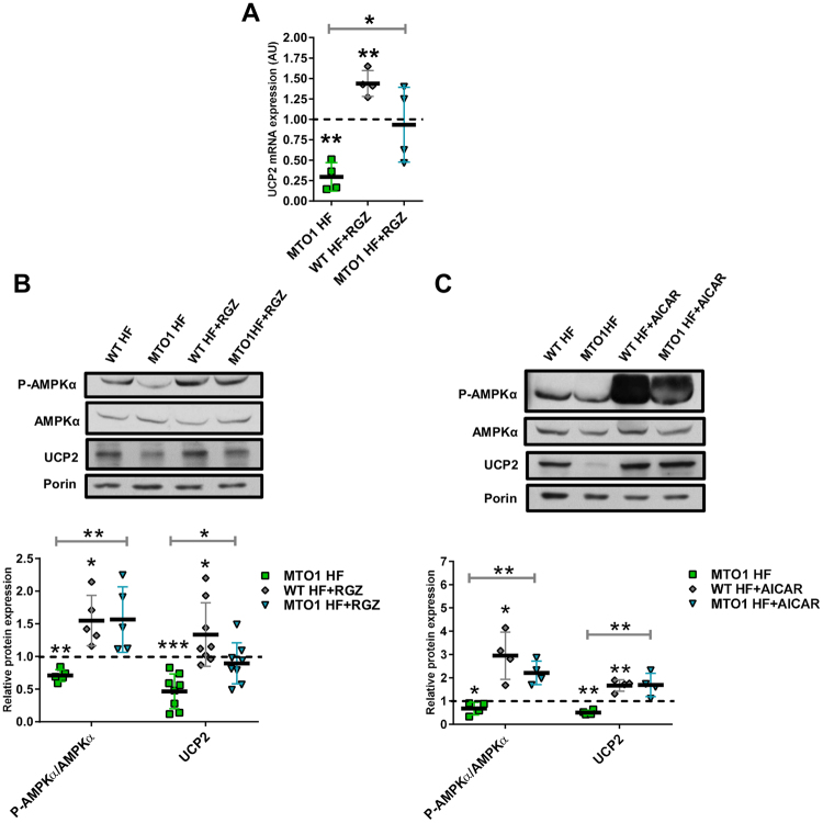 Regulation of UCP2 is AMPK- and PPARγ-dependent in MTO1 fibroblasts. (A) qRT-PCR analysis of the UCP2 mRNA expression in MTO1 human fibroblasts (MTO1 HF), treated or not with 5 μM rosiglitazone (RGZ) for 1 h. Data are represented as fold change respect to WT HF values. (B) Representative immunoblots of phosphor-Thr172-AMPKα, AMPKα and UCP2 in WT HF and MTO1 HF, treated or not with 5 μM RGZ for 1 h. Porin and AMPKα were used as loading controls. Full-length western blots are included in supplementary information (Fig. S 23 ). The scatter plot shows densitometric data for UCP2 normalized to porin and phosphor-Thr172-AMPKα normalized to AMPKα, and represented as fold change relative to WT HF. (C) Representative immunoblots of phosphor-Thr172-AMPKα, AMPKα and UCP2 in WT HF and MTO1 HF, treated or not with 1 mM AICAR for 1 h. Porin was used as a loading control. Full-length western blots are included in supplementary information (Fig. S 23 ). The scatter plot shows densitometric data for UCP2 normalized to porin and phosphor-Thr172-AMPKα normalized to AMPKα, and represented as fold change relative to WT HF. All data are the mean ± SD of at least three different experiments. Differences from WT HF values were found to be statistically significant at *p