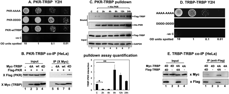 TRBP phosphorylation strengthens PKR-TRBP interaction and weakens TRBP-TRBP interaction. ( A ) Phospho-mimic TRBP mutant interacts stronger with PKR compared to the phospho-defective TRBP mutant in yeast two-hybrid assay. PKR/pGAD424 and either AAAA TRBP/pGBKT7, DDDD TRBP/pGBKT7, or wt TRBP/pGBKT7 were co-transformed into AH109 yeast cells and selected on SD double dropout media (-tryptophan, - leucine). Ten microliters of transformed yeast cells (OD 600 = 10, 1, 0.1, 0.01) were spotted on SD triple dropout media (-tryptophan, - leucine, - histidine) containing 10 mM 3-amino-1,2,4-triazole (3-AT). Plates were incubated for 3 days at 30 °C. Transformation of PKR in pGAD424 and pGBKT7 empty vector served as a negative control. ( B ) Phosphomimic TRBP mutant shows stronger heteromeric interaction with PKR compared to the phosphodefective TRBP mutant in mammalian cells. HeLa cells were transfected with Flag K296R PKR/pcDNA 3.1 − and either myc TRBP AAAA/pcDNA 3.1 − , myc wt TRBP/pcDNA 3.1 − , or myc TRBP DDDD/pcDNA 3.1 − . The cells were harvested 24 hours after transfection, and myc AAAA, DDDD or wt TRBP was immunoprecipitated using anti-myc monoclonal antibody conjugated agarose beads. Co-immunoprecipitated Flag PKR was analyzed by western blot analysis with an anti-Flag antibody (IP: x Flag (PKR) panel). The blot was subsequently re-probed with anti-myc antibody to ensure equal myc TRBP immunoprecipitation from each sample (IP: x myc (TRBP) panel). Equal Flag PKR and myc TRBP expression in all samples was tested by western blot analysis of equal amounts of total cell lysate with anti-myc, and anti-Flag antibodies (input: x Flag (PKR) and x myc (TRBP) panels). ( C ) Changes in TRBP association with PKR. Flag TRBP overexpressing cells were treated with 25 μM sodium arsenite for the indicated time points. Cell extracts were prepared in the presence of a phosphatase inhibitor and 25 μg of cell extract was incubated with 500 ng of pure recombinant hexahistidine (His)-tagg