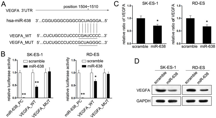 MiR-638 directly targets <t>VEGFA</t> ( A ) Schematic representation of the 3′UTR of VEGFA mRNA containing the putative miR-638 target site. ( B ) Relative luciferase assays comparing the SK-ES-1 and RD-ES cells transfected with pGL3-mutant (VEGFA_MUT) or pGL3-wild-type (VEGFA_WT) or untreated pGL3 vector (miR-638_PC). ( C ) The mRNA levels of VEGFA were measured by Quantitative <t>RT-PCR</t> in EWS cells after transfected with miR-638 or scramble mimic, respectively. ( D ) Protein levels of VEGFA and GAPDH were detected by Western blot in EWS cells after transfected with miR-638/scramble. * P
