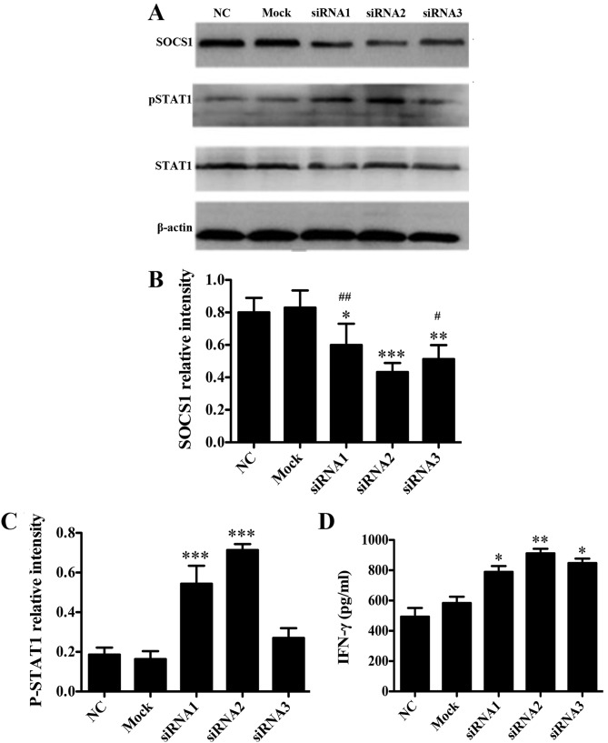 SOCS1 negatively regulates DCs in vitro . (A) DC2.4 cells were transfected with SOCS1 siRNAs (siRNA1-3) using Lipofectamine 2000. The protein expression levels of SOCS1, pSTAT1 and STAT1 in DC2.4 cells 48 h after transfection with SOCS1 siRNA were determined by western blot analysis. Representative western blot analysis results from one of three independent experiments are demonstrated. The intensity of (B) SOCS1 and (C) pSTAT1 bands were normalized to that of the β-actin bands, and the relative intensities (ratios) are presented. (D) Levels of IFN-γ secretion by siRNA-transfected or mock-transfected DC2.4 cells in response to 100 ng/ml LPS-simulation for 24 h. *P