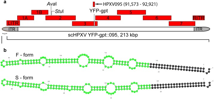 """Virus design strategy. ( a ) Cloned synthetic DNA fragments used to assemble HPXV. Nine different clones were synthesized spanning all but the first and last 40 bp in GenBank entry DQ792504, each overlapping the adjacent fragment by ~1 kbp. All of the Aar I and Bsa I restriction sites were eliminated from fragments 1A to 7, inclusive, using silent mutations and the same strategy was used to add Ava I and Stu I sites in Frag_2. To facilitate virus recovery a gene encoding a YFP-gpt fusion protein was inserted into Frag_3, at the site of the HPXV thymidine kinase locus. An additional HPXV095 fragment spans the thymidine kinase locus and was subsequently used to delete and replace the YFP-gpt marker using homologous recombination. ( b ) Synthetic hairpin telomeres. Because the HPXV genome was not sequenced to the ends, we substituted two hairpin sequences based upon those reported for VACV strain WR (green coloured nucleotides). These are called """"fast"""" and """"slow"""" forms based upon their electrophoretic properties. The nucleotides coloured in black come from the HPXV genome sequence and provide an element essential for telomere resolution."""
