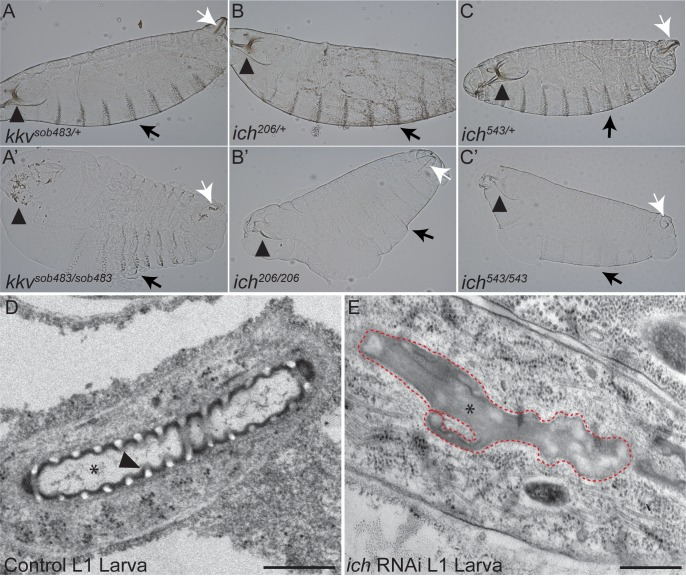 Ichor is required for assembly of the mature aECM. Cuticle preparations of heterozygous control (A-C) and homozygous mutant  kkv sob483  (A'),  ich 206  (B'), and  ich 543  (C') St.17 embryos or first instar larvae. Chitin-deficient embryos (A') exhibited a bloated cuticle and degenerated head skeleton (arrowhead in A'). The  ich  embryos exhibited a mild bloated phenotype as well as cuticle defects distinct from chitin-deficient embryos. The head skeleton (arrowheads in B', C') appeared intact but poorly pigmented. Other cuticular structures, such as the epidermal denticles (arrows in B', C') and spiracular chambers (white arrows in B', C'), were also poorly pigmented in  ich  mutants. By contrast, chitin synthesis is not absolutely required for pigmentation of the head skeleton remnants (arrowhead in A'), denticle belts (black arrow in A'), or spiracular chambers (white arrow in A'). (D, E) Longitudinal sections of control ( btl > GFP , D) and ich RNAi ( SRF > eGFP ,  ich  RNAi; E) first instar (L1) terminal cell tubes visualized by transmission electron microscopy (TEM). Control terminal cell branches contain tubes (*) of locally uniform dimensions lined by an electron-dense aECM (cuticle). The arrowhead in D points to a clearly defined taenidium with an electron-luscent chitinous core. By contrast, the lumens (*) of  ich  RNAi terminal branches adopt a highly irregular morphology (red dashed line). These lumens are devoid of taenidiae and instead are occluded with disorganized electron-dense material. (Scale Bars: D, E = 500 nm).