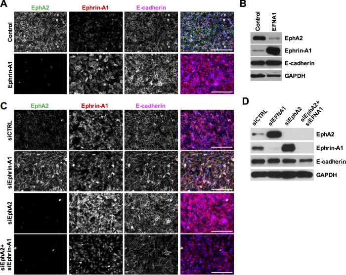 Reciprocal regulation of ephrin-A1 and <t>EphA2</t> expression in corneal epithelial cell cultures. (A) Immunostaining of EphA2 (green), ephrin-A1 (red), and E-cadherin (magenta) in mono-cultures of hTCEPi cells transduced with an empty control or an ephrin-A1 cDNA construct. Representative images from n = 3. (B) Immunoblotting for total EphA2, ephrin-A1, or E-cadherin in hTCEPi cells overexpressing ephrin-A1 (EFNA1). GAPDH was used as a protein loading control. Representative blots from n = 4. (C) Immunostaining of EphA2 (green), ephrin-A1 (red), and E-cadherin (magenta) in hTCEPi cells knocked down for ephrin-A1 (siEphrin-A1), EphA2 (siEphA2), or both proteins (siEphA2+siEphrin-A1). Scale bar denotes 100 μm. Representative images from n = 3. (D) Immunoblotting for total EphA2, ephrin-A1, or E-cadherin in hTCEPi cells with siRNA targeted knockdown of ephrin-A1, EphA2, or double knockdown. GAPDH was used as a protein loading control. Representative blots from n = 3.
