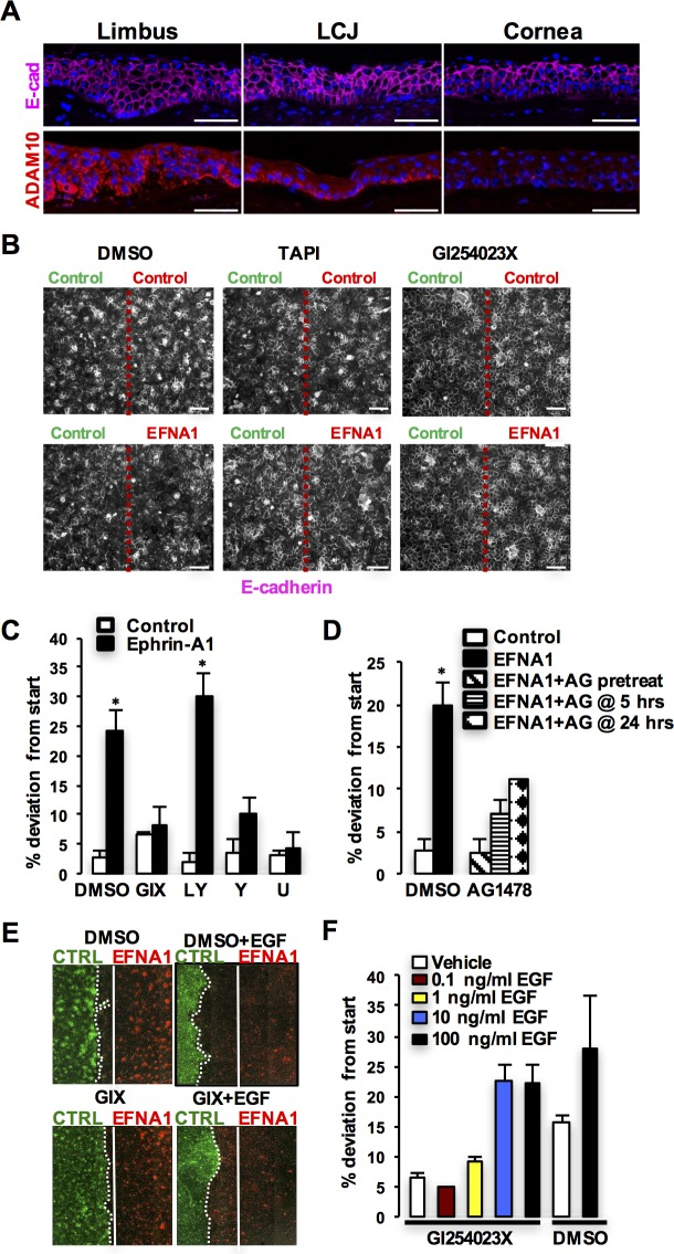 """ADAM10 mediates Ephrin-A1/EphA2 boundary organization via EGFR signaling. (A) E-cadherin (E-cad; top) and ADAM10 (bottom) immunofluorescence staining in human anterior segmental epithelium. Scale bar denotes 100 μm. (B) E-cadherin staining of control cells (Control, green) confronted by """"like"""" control cells (Control, red) or ephrin-A1–expressing cells (EFNA1, red) confronted by """"unlike"""" control cells (Control, green; bottom) in the presence of general MMP inhibitor, TAPI, or a specific ADAM10 inhibitor, GI254023X (GIX). Red dotted lines indicate the boundary between the two cell populations 48 hours after initiation of confrontation. Scale bar denotes 80 μm. (C) Quantification of confrontation experiments at 48 hours in cocultures treated with DMSO, GIX, LY294002 (LY), Y-27632 (Y), or U0126 (U). * P"""