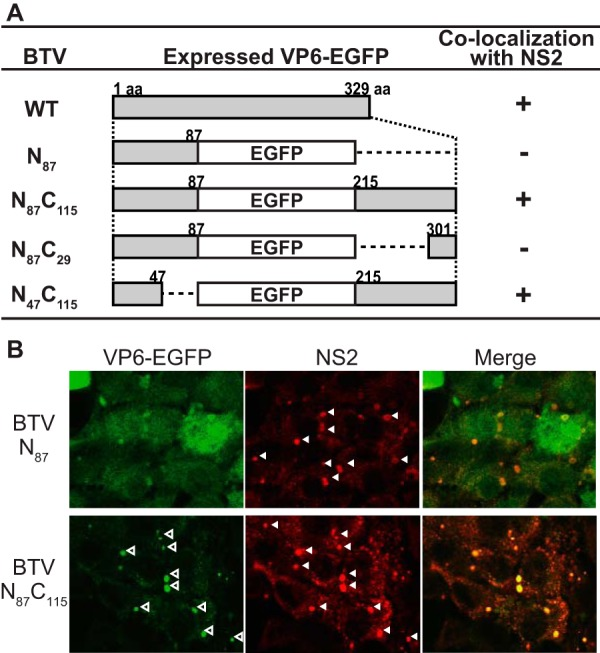 Localization of chimeric VP6-EGFP proteins in WT-BSR cells infected with various chimeric BTV strains. (A) Schematic representation of the changes introduced in BTV VP6. The name of the mutation is indicated on the left. Numbers in the middle column indicate amino acid (aa) positions in VP6, where EGFPs were fused with the N- and/or C-terminal region of VP6. +, colocalization of VP6-EGFP with NS2. (B) Colocalization of VP6 to which EGFP was fused at the C terminus with NS2. Either BTV/N 87 (top) or BTV/N 87 C 115 (bottom) was used to infect WT-BSR cells at an MOI of 1.0. At 24 h postinfection, the expression of EGFP and NS2 was observed using confocal microscopy. NS2 was detected using an anti-NS2 antibody produced in a guinea pig. Open and closed arrowheads, punctate structures of VP6 and VIBs, respectively.