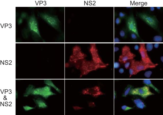 Colocalization of VP3 with NS2. VP3 was coexpressed with NS2 in WT-BSR cells (bottom). As a control, either VP3 (top) or NS2 (middle) was singly expressed in the cells. VP3 and NS2 were detected using a mouse anti-VP3 antibody and a guinea pig anti-NS2 antibody, respectively.