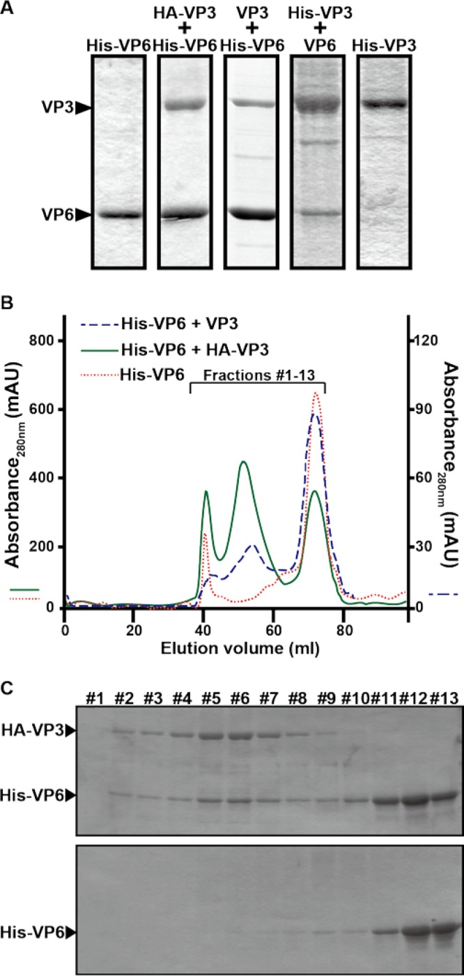 Interaction of VP6 with VP3. (A) Copurification of VP6 with VP3, each of which was expressed using a baculovirus expression system. His-tagged VP6 (His-VP6) was coexpressed with either HA-tagged VP3 (HA-VP3) or nontagged VP3 (VP3) in Sf9 cells. In parallel, His-tagged VP3 (VP3) was coexpressed with nontagged VP6 (VP6). As a control, either His-VP6 or His-VP3 was expressed. Proteins were purified with a His-Select nickel affinity gel. (B) Analysis of the VP6/VP3 complex by gel filtration chromatography. Two types of VP3/VP6 complexes, His-VP6/HA-VP3 (green solid line) and His-VP6/VP3 (blue dashed line), copurified using nickel affinity gels, were loaded onto an equilibrated HiPrep 16/60 Sephacryl S-300 HR gel filtration column and eluted with the same buffer at a flow rate of 0.5 ml/min. His-VP6 (red dotted line) was loaded as a control. The left vertical axis indicates the absorbance at 280 nm of His-VP6 and the His-VP6/HA-VP3 complex. The right vertical axis indicates the absorbance at 280 nm of the His-VP6/VP3 complex. mAU, milli-absorbance units. (C) Fractions of the His-VP6/HA-VP3 complex (fractions 1 to 13) were collected between elution volumes of 38 ml and 77 ml and analyzed using SDS-PAGE (top). As a control, the same fractions of His-VP6 were analyzed (bottom).