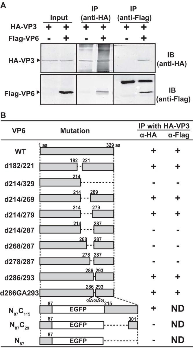Direct interaction of VP6 with VP3 at a region between residues 279 and 286. (A) Coimmunoprecipitation of VP6 with VP3. HA-tagged VP3 (HA-VP3) was expressed in WT-BSR cells in the presence or absence of Flag-tagged VP6 (Flag-VP6). HA-VP3 and Flag-VP6 were immunoprecipitated using a mouse anti-HA MAb and a mouse anti-Flag MAb, respectively. Precipitated proteins were detected by immunoblotting using a rabbit anti-HA pAb and a rabbit anti-Flag pAb, respectively. (B) Schematic representation of modified VP6. Numbers in the middle column indicate amino acid positions in VP6 where changes were introduced. Note that no Flag tag was inserted at the N-terminal end of the three VP6 mutants N 87 C 115 , N 87 C 29 , and N 87 . +, coimmunoprecipitation; IP, immunoprecipitation; IB, immunoblotting; aa, amino acid; ND, not determined.