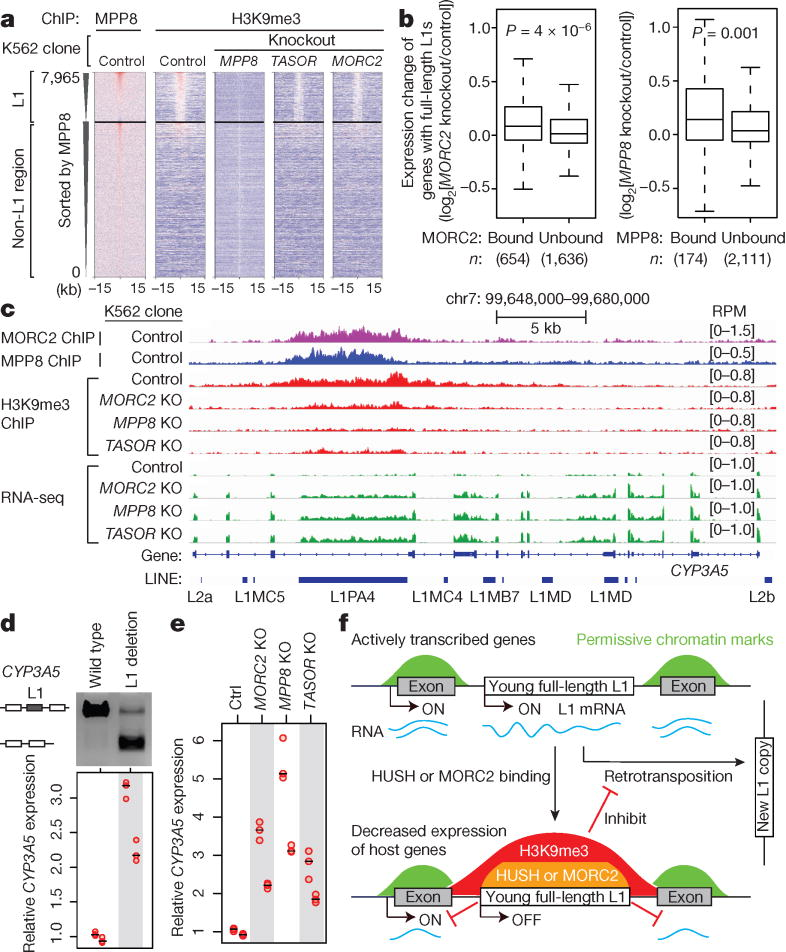 HUSH/MORC2 binding at L1s decreases active host gene expression. a. Heatmaps showing MPP8 and H3K9me3 ChIP signal enrichment, centered on MPP8 and MORC2 summits and separated by L1 presence or absence. b. Expression change of genes with intronic full-length L1s that are bound or unbound by MORC2 or MPP8 (RNA-seq reads from KO K562 clones compared to Ctrl). Box plots show median and interquartile range (IQR), whiskers are 1.5× IQR. p-value, two-sided Mann-Whitney-Wilcoxon test. c. Genome browser tracks: HUSH/MORC2 loss causing H3K9me3 decrease at the target L1 and expression increase at both the target L1 and its host gene, independently repeated once with similar results. d. Deleting the target intronic L1 from CYP3A5 in K562 increases CYP3A5 expression, by RT-qPCR normalized to wild-type sample. n = 2 biological replicates × 3 technical replicates (center value as median). Gel image confirms L1 deletion; two experiments repeated independently with similar results. e. RT-qPCR for CYP3A5 expression in K562 clones, normalized to Ctrl. n = 2 biological replicates × 3 technical replicates (center value as median). f. Model: HUSH/MORC2 bind young full-length L1s within transcriptionally active genes, and promote H3K9me3 deposition at target L1s to silence L1 transcription. This pathway not only inhibits L1 retrotransposition, but also decreases host gene expression.