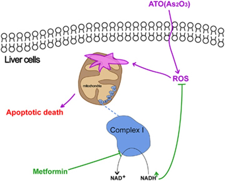 The possible mechanism of the mitochondrial complex I-dependent protective effect of metformin on ATO-induced hepatotoxicity. Metformin increased the intracellular NADH/NAD + ratio by inhibiting mitochondrial respiratory chain complex I, further decreasing the intracellular ROS induced by ATO