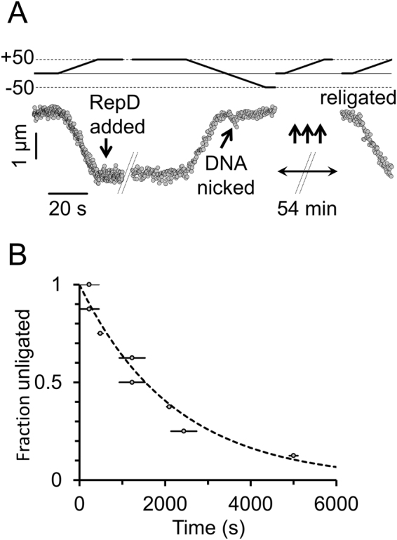 "DNA nick-religation activity by RepD. ( A ) Upper trace (solid line) shows rotational position of the magnetic tweezers and the lower trace (filled circles) shows the bead height as a function of time. The 10-kb dsDNA was first positively supercoiled (by +50 turns) and then RepD (100 nM) was added (down-arrow). The magnetic field was then rotated (by −100 turns) driving the bead and associated DNA molecule toward 50 turns of negative supercoiling. In this example, the DNA molecule was nicked (diagonal arrow) almost as soon as it started to enter the regime of negative supercoiling. Because the DNA had been nicked it could no longer undergo the characteristic length changes associated with supercoiling. Repeated cycles of 50 positive turns of field rotation were then applied to test if the DNA molecule was ""supercoilable"". Here, after 54 minutes, the DNA spontaneously religated, and could again be supercoiled. ( B ) Cumulative frequency plot showing the number of nicked DNA molecules remaining as a function of time (n = 8). The mean time for religation to occur was 1,420 seconds (~24 minutes), giving a rate constant (dotted line) of 5 × 10 −4 s −1 . The horizontal lines indicate timing uncertainty due to gaps between applications of the +50 turn test protocol (see (A) above). Experiments were at F = 0.4 pN and 23 °C."