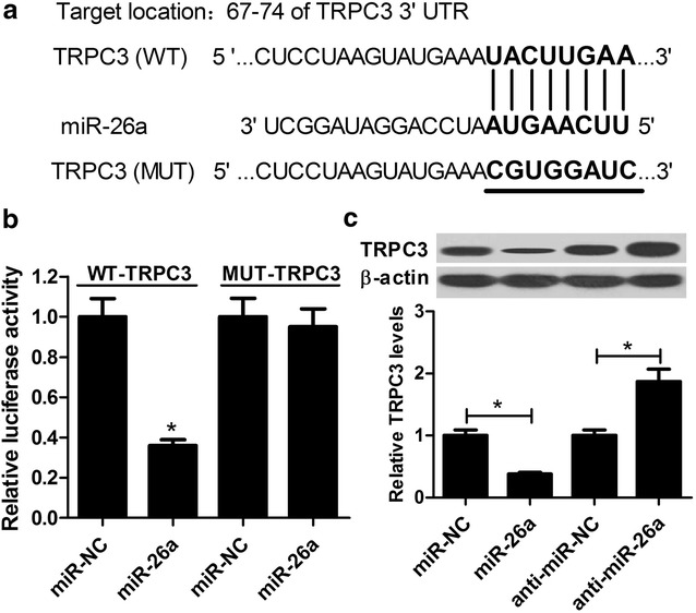 TRPC3 was a target of miR-26a in HAECs. a Schematic of the interaction sites of wild-type or mutated TRPC3-3′UTR with miR-26a. b Luciferase activity was measured by luciferase reporter assay in HAECs after cotransfection with WT-TRPC3 or MUT-TRPC3 and miR-26a or miR-NC. c The protein level of TRPC3 in HAECs treated with miR-26a, anti-miR-26a, or corresponding controls were determined by western blot. * P
