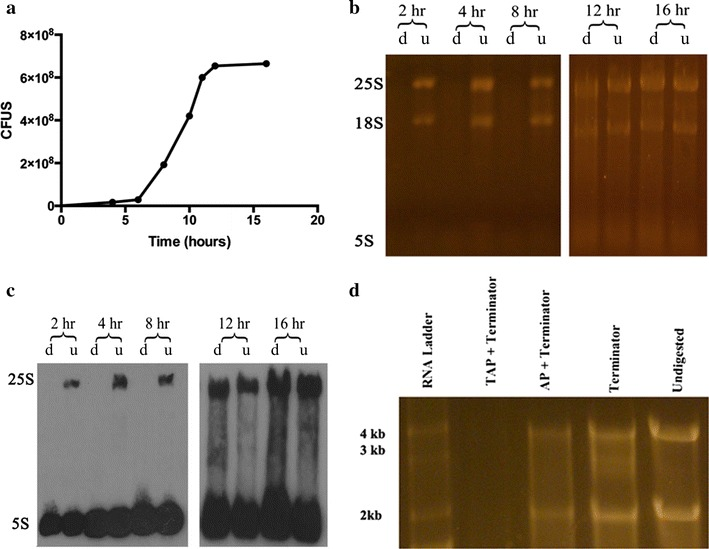 18S and 25S rRNAs protected from Terminator digestion as organisms shift to stationary phase and analysis of 5′-end for possible role in protection. a C. albicans growth curve at 30 °C in YPD medium. b <t>SYBR</t> gold stained gel of total <t>RNA</t> isolated at different time points either digested with Terminator (d) or undigested (u). c Northern blot of gel seen in a using 25S and 5S specific probes (Table 1 ). d RNA digested with Terminator alone or following TAP or AP digestion. As can be seen both 25S and 18S remain protected after AP digestion but get eliminated after TAP digestion. CFUS colony forming units