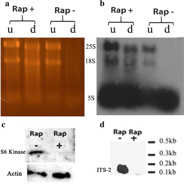 TOR inhibition also leads to Terminator resistance. a SYBR gold stained gel showing RNA from cells grown in fresh YPD with rapamycin at 1 µg/ml for 6 h at 30 °C. Controls (Rap-) were cells in fresh YPD without rapamycin for 6 h at 30 °C. RNA was either undigested (u) or digested by Terminator (d). b Northern blot from a . c Western blot performed on protein isolated and probed with S6 kinase and actin specific antibodies from cells grown as in a with and without rapamycin treatment. d Northern blot performed with ITS2 specific probe using RNA from cells grown under the same conditions as in a (see Table 1 for probe sequences). All blots started with the same amount of total RNA or protein loaded for all conditions