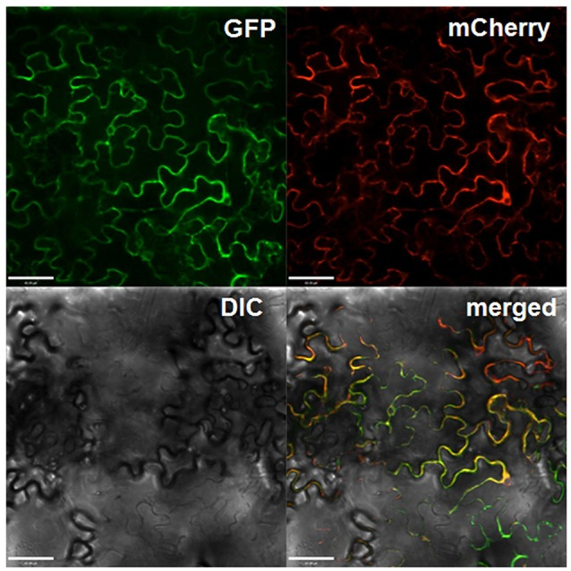 Subcellular localization of Gbvdr6 in epidermal cells of N. tabacum leaves. The Gbvdr6-GFP fusion was transiently co-expressed with the plasma membrane marker mCherry. The images were taken under a confocal microscope at 48 h after agro-infiltration. GFP: fluorescence of Gbvdr6-GFP fusion, mCherry: fluorescence of the plasma membrane marker mCherry, DIC, differential interference contrast; merged, a merged image. Scale bar = 60 μm.