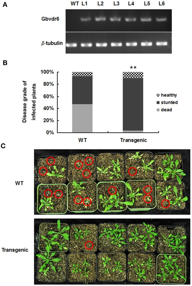 Gbvdr6 over-expressed Arabidopsis enhanced resistance to V. dahliae . (A) The semi-quantitative RT-PCR of Gbvdr6 over-expressed Arabidopsis . The β-tubulin was the internal control, and L1-L6 are the transgenic Arabidopsis lines. (B) The numbers of healthy, stunted and dead Arabidopsis plants were scored and statistically analyzed. Thirty plantlets were tested in each line. The experiment was conducted twice with similar results. The chi-squared test is used to determine whether there is a significant difference. The asterisk indicated above the columns means ** P