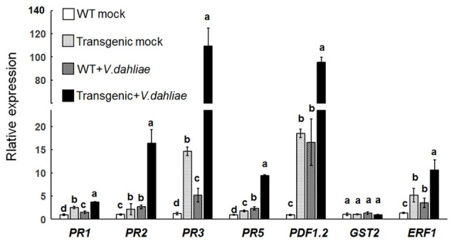 Upregulation of pathogenesis-related genes in the Gbvdr6 over-expressed Arabidopsis . The expression levels of marker genes PR1, PR2 , and PR5 in SA signaling, PR3, PDF1.2 , and ERF1 in ET/JA signaling, and GST2 in ET signaling were measured by real-time reverse-transcription PCR with β-tubulin gene as the internal control. Data were the means ± SE of three biological replicates. Duncan's multiple range test was carried out within genes, and different letters in the graphs indicate significant differences between treatments ( P