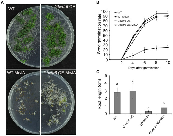 Gbvdr6 over-expressed Arabidopsis is more insensitive to MeJA compared with the wild type. (A) The phenotype of Gbvdr6 over-expressed Arabidopsis ( Gbvdr6 -OE) and wild type after MeJA treatment. The WT and Gbvdr 6-OE are the seedlings grown on the plate without MeJA, and the WT-MeJA and Gbvdr6 -OE-MeJA indicates the seedling on the plate with 20 um MeJA. The photos were taken at 30 days after sowing. (B) Assay of seed germination rate of Gbvdr6 over-expressed Arabidopsis ( Gbvdr6 -OE) and wild type in the presence of exogenous MeJA. Germination rates of the seeds were analyzed at the indicated time points. The data represent means ± SD of three independent replicates with at least 50 seeds counted per replicate. (C) Assay of root length of Gbvdr6 over-expressed Arabidopsis ( Gbvdr6 -OE) and wild type in the presence of exogenous MeJA at 30 days after sowing. Significant difference between different lines is indicated by different letters ( P
