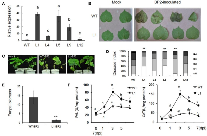 Gbvdr6 over-expressed cotton enhanced resistance to V. dahliae . (A) Varied expressional levels of Gbvdr6 in the transformed plant s. Gbvdr6 relative expressional levels of the T3 generation were measured by qRT-PCR and calculated in relation to the wild type plants according to the ΔΔCt method with the UBQ14 gene as the internal control. L1, L4, L5, L9, and L12 are the transgenic cotton lines. Different letters on the bars designate statistically significant differences ( P
