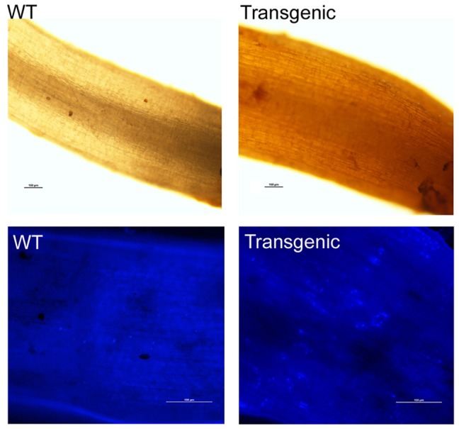 Hydrogen peroxide and callose accumulation in the Gbvdr6 over-expressed cotton and WT plant in response to V. dahliae . Roots from the transgenic and the WT at 5 days post-inoculation with V. dahliae were stained with 3,3′-diaminobenzidinetetrahydrochloride (DAB), and photos were taken under a fluorescence microscope with bright light. Scale bar = 100 μm (upper) . Callose accumulation (lower) . Roots from the transgenic and the WT at 5 days post-inoculation with V. dahliae were stained with aniline blue, and photos were taken under a fluorescence microscope with UV light. Scale bar = 100 μm.