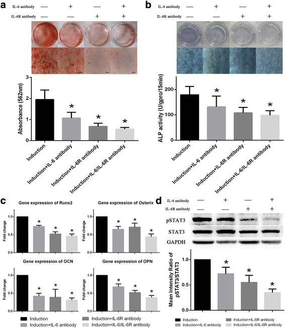 IL-6- and <t>IL-6R-neutralizing</t> antibodies inhibit osteogenic differentiation in <t>BM-MSCs.</t> a IL-6, sIL-6R or both inhibited the extent of ARS staining in BM-MSCs. b ALP staining and activity of BM-MSCs were reduced by IL-6- and IL-6R-neutralizing antibodies. c Expression of osteoblastic marker genes in BM-MSCs was also inhibited by IL-6- and IL-6R-neutralizing antibodies. d IL-6- and IL-6R-neutralizing antibodies also inhibited STAT3 phosphorylation in BM-MSCs during osteogenic differentiation. Data are presented as the means ± SD of 15 samples per group. *Indicates P