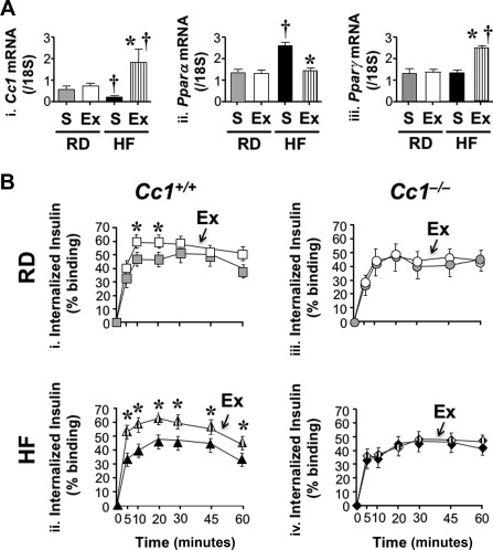Effect of exenatide on insulin uptake in murine primary hepatocytes. (A) Primary hepatocytes were isolated from Cc1 +/+ mice fed an RD or HF diet for 1 month (n = 6 mice/treatment) and treated with exenatide or saline for 24 hours before performing qRT‐PCR analysis in triplicate to measure (i) Ceacam1 , (ii) Pparα , and (iii) Pparγ mRNA levels normalized to 18S. Values are expressed as mean ± SEM; * P