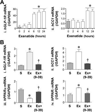 Effect of exenatide on CEACAM1 and GLP‐1R mRNA levels in HepG2 cells. (A) HepG2 cells were treated with saline (light gray) or exenatide (white) for 0‐24 hours before qRT‐PCR analysis to measure (i) hGLP‐1R and (ii) hCEACAM1 ( CC1 ) mRNA levels normalized to iGAPDH (n = 5/group in triplicate). Values are expressed as mean ± SEM; * P