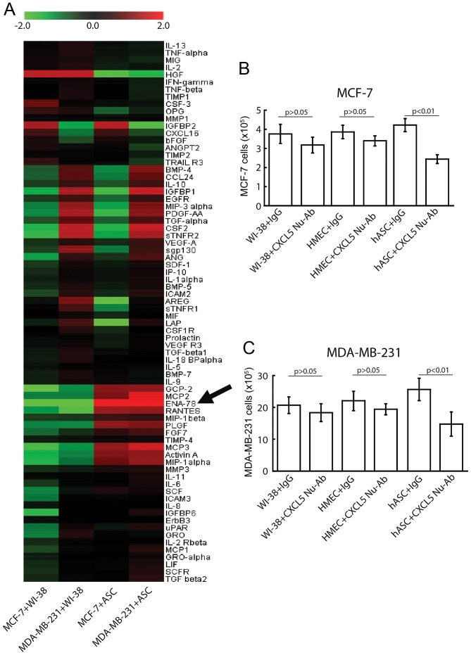CXCL5 neutralization reduces the proliferation-promoting effect of ASCs. (A) Representative cytokine array analysis of the expression of 174 cytokines in the media from co-cultures of tumor cells with WI-38 cells (left columns) or ASCs (right columns). Arrow denotes the CXCL5 (also known as ENA-78) band. (B and C) Effects of neutralization of CXCL5 on the ASC-stimulated proliferation of (B) MCF-7 and (C) MDA-MB-231 cells. CXCL5 was neutralized with CXCL5 Nu-Ab, and a non-specific monoclonal IgG1 was used as the control antibody. WI-38 cells and HMECs were used as additional controls to highlight the specific effect of ASC-secreted CXCL5. All experiments were repeated 5 times. CXCL5, C-X-C motif ligand 5; CXCL5 Nu-Ab, CXCL5-specific neutralizing monoclonal antibody; Ig, immunoglobulin; ASC, adipose tissue-derived stem cells; HMEC, human mammary epithelial cell; ENA-78, epithelial cell-derived neutrophil-activating peptide-78.