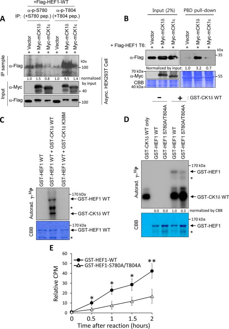 CK1δ induces the phosphorylation of Ser-780 and Thr-804 residues on HEF1, leading to the formation of the HEF1–Plk1 complex. A , expression of CK1δ induces the phosphorylation of Ser-780 and Thr-804 residues on HEF1. HEK293T cells co-transfected with FLAG-HEF1 WT and a Myc-empty vector (+ Vector ), Myc-tagged CK1δ (+ Myc-CK1 δ) vector, or CK1ϵ (+ Myc-CK1 ϵ) vector were subjected to an immunoprecipitation assay. Cell lysates were immunoprecipitated with either anti-phospho-Ser-780 or -Thr-804 antiserum, with 10 μg/ml non-phospho-Ser-780 (+ S780 pep ) or non-phospho-Thr-804 (+ T804 pep ) peptide, respectively, and then immunoblotted with an anti-FLAG antibody. Cell lysates were probed with either anti-FLAG or -Myc antibody.  B , expression of CK1δ induces HEF1–Plk1 complex formation. HEK293T cells co-transfected with FLAG-HEF1 T6 and a Myc-empty vector (+ Vector ), Myc-tagged CK1δ (+ Myc-CK1 δ) vector, or CK1ϵ (+ Myc-CK1 ϵ) vector were subjected to a PBD pulldown assay using GST-Plk1 PBD WT. The resulting precipitates were immunoblotted with the indicated antibodies. Note that the expression of CK1δ greatly enhances FLAG-HEF1 T6 binding to Plk1 PBD.  C , CK1δ directly phosphorylates HEF1. The bacterially purified GST-HEF1 WT proteins were reacted with either a bacterially purified GST-CK1δ WT or K38M (kinase-dead mutant) in the presence of [γ- 32 p]ATP, and the resulting samples were then separated by 10% SDS-PAGE and exposed on an X-ray film (Autorad). CBB represents the amount of loaded protein.  Asterisks  indicate degradation products of GST-HEF1 protein.  D , HEF1 S780A/T804A double mutant reduces HEF1 phosphorylation by CK1δ. The bacterially purified GST-CK1δ WT proteins were reacted with either a bacterially purified GST-HEF1 WT or S780A/T804A mutant in the presence of [γ- 32 p]ATP, and the resulting samples were then separated by 10% SDS-PAGE and exposed on an X-ray film (Autorad). CBB represents the amount of loaded protein.  Asterisks  indicate degradation p