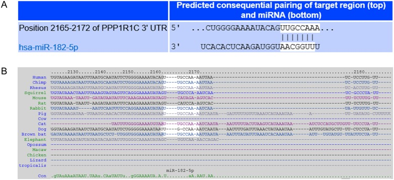 Prediction of PPP1R1C as a target of miR-182 (A) Complementary 7mer-m8 seed match between miR-182 and the 3′ UTR of PPP1R1C as predicted by TargetScan software. (B) Conservation of the 7mer-m8 seed of miR-182 in the 3′UTR of PPP1R1C in indicated organisms.