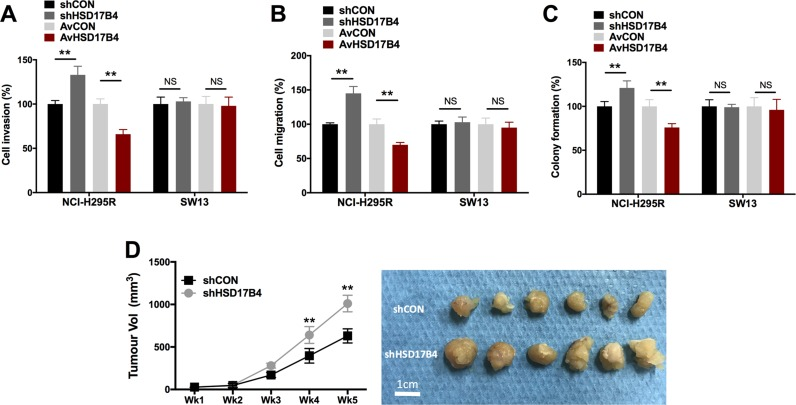 HSD17B4 altered cell motility in H295R but not in SW13 cells HSD17B4-KD and overexpression in NCI-H295 and SW13 cells effecting on ( A ) cell invasion; ( B ) cell migration; and ( C ) colony formation, respectively; ( D ) HSD17B4-KD induced increased in vivo tumor growth of NCI-H295R cells ( ** P