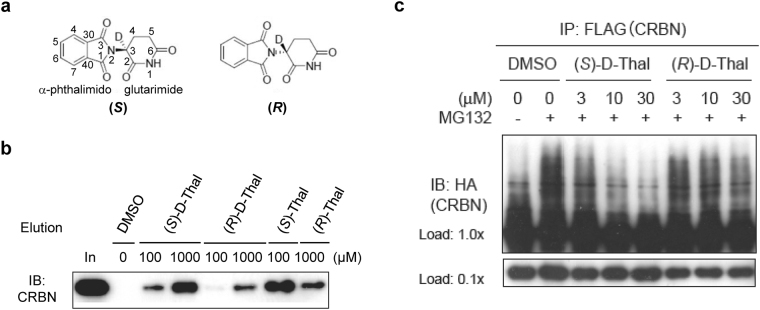 Binding assays of deuterium-substituted ( S )- and ( R )-thalidomides with human CRBN TBD. ( a ) Chemical structures of deuterated ( S )- and ( R )-thalidomides, ( S )-D-Thal and ( R )-D-Thal, respectively. Atom numbering is shown in the ( S )-D-Thal chemical structure. The hydrogen atom at the chiral centre C3 atom of the glutarimide moiety is substituted with a deuterium atom. ( b ) Competitive elution assay using thalidomide-immobilized beads coupled with racemic thalidomide. Beads were mixed with extracts from 293 T cells expressing FLAG-HA-CRBN and washed three times with 0.5% <t>NP-40</t> lysis buffer and bound proteins were eluted with wash buffer containing 1 mM deuterated ( S )- or ( R )-thalidomide (( S )-D-Thal or ( R )-D-Thal), ( S )- or ( R )-thalidomide (( S )-Thal or ( R )-Thal) or DMSO for the indicated time. The eluate was then analyzed by SDS-PAGE and immunoblotting (IB). ( c ) Inhibitory effects of thalidomide enantiomers on auto-ubiquitylation of FH-CRBN were detected in the presence of MG132. Cells were treated with DMSO or the indicated concentrations of ( S )-D-Thal or ( S )-D-Thal for 4 hours prior to harvesting. Full-length blots in ( b ) and ( c ) are presented in Supplementary Fig. 8 .